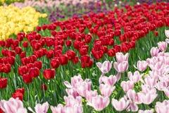 Les belles tulipes sont au soleil Images stock
