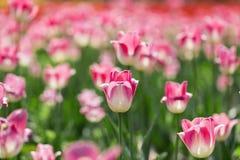 Les belles tulipes sont au soleil Photos stock