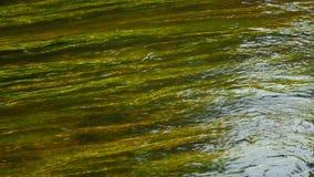 Les belles usines sous-marines se déplacent le courant d'eau de rivière banque de vidéos