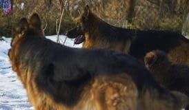 Les bergers allemands courent dans le jardin dans la neige Photo libre de droits