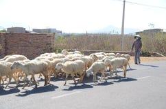 Les bergers déplacent des moutons pour la nourriture et boivent espérer qu'il y aura l'eau images libres de droits