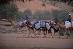 Les bergers de chameau marchent un groupe de chameaux pour dépister photographie stock