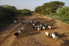 Les Birmans apportent la vache et la chèvre marchant sur la route dans Bagan, Myanmar Photos libres de droits