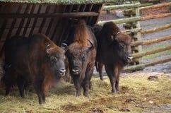Les bisons européens s'approchent de la barrière Photos libres de droits