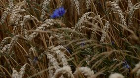 Les bleuets bleus se développent entre les oreilles de blé clips vidéos