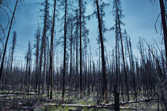 Bois morts dans Yellowstone Image stock