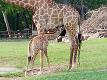 Les boissons nouveau-nées ou de bébé de girafe traient dans la fin dans un amour et une maternité d'exposition de zoo Images stock