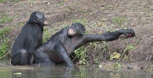 Les bonobos (paniscus de casserole) joignant dans l'étang Photographie stock libre de droits