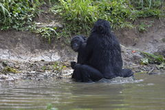 Les bonobos (paniscus de casserole) joignant dans l'étang Photo libre de droits