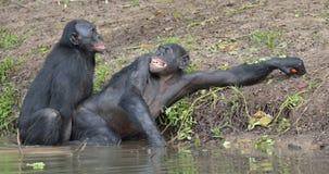 Les bonobos (paniscus de casserole) joignant dans l'étang Photo stock