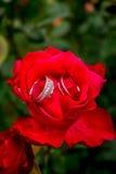 Les boucles de mariage en rouge ont monté Photo libre de droits