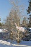 Les bouleaux sans feuilles sur un fond des sapins verts ont couvert l'esprit Image libre de droits