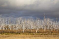 Les bouleaux secs et morts se tiennent contre le ciel de plomb photos stock