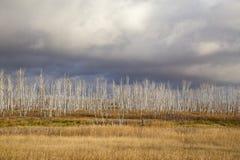 Les bouleaux secs et morts se tiennent contre le ciel de plomb photo stock