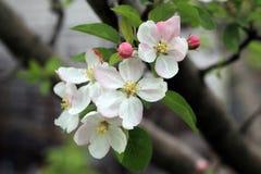 Les bourgeon floraux et les fleurs sur le pommier s'embranchent Image libre de droits