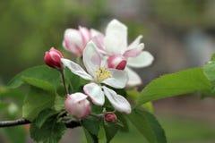 Les bourgeon floraux et les fleurs sur le pommier s'embranchent Image stock