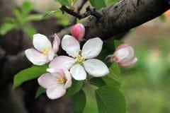 Les bourgeon floraux et les fleurs sur le pommier s'embranchent Images libres de droits