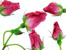 Les bourgeons de baiser de Rose Image libre de droits