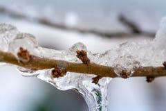 Les bourgeons de l'arbre congelé image stock