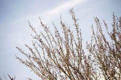 Les bourgeons des arbres, des arbres de bourgeonnement, de l'arrivée du ressort et de la floraison des arbres, des abricotiers et Photo stock