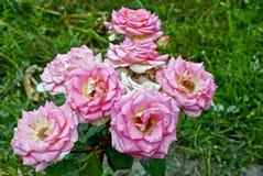 Les bourgeons des roses de floraison sur un buisson épineux en été font du jardinage Images libres de droits