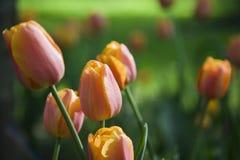 Les bourgeons des tulipes Photo libre de droits