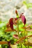 Les bourgeons, feuilles se sont levés dans le foto de jardin Images stock