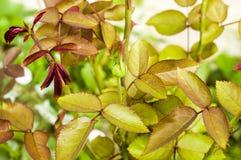 Les bourgeons, feuilles se sont levés dans le foto de jardin Photographie stock libre de droits