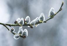 Les bourgeons pelucheux mous de saule de branches couverts de pluie laisse tomber le bloomin Photographie stock