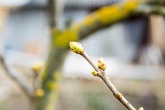 Les bourgeons sur l'arbre dans le spingtime Photos libres de droits