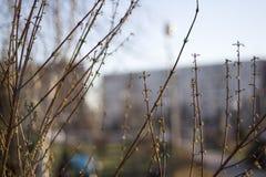 Les bourgeons sur les branches Image stock