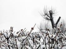 Les bourgeons sur les branches dans la neige photographie stock libre de droits