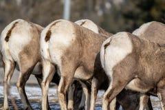 Les bouts de mouflons d'Amérique ont aligné, comme ils mangent l'herbe en hiver, dans le sauvage photographie stock libre de droits