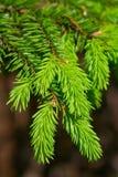 Les branchements du sapin vert Photos libres de droits
