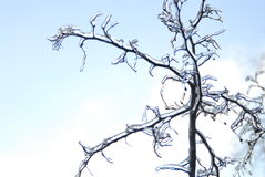 Les branchements sont ice-covered. Images libres de droits