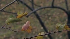 Les branches d'arbre avec les feuilles colorées balancent en vent léger banque de vidéos