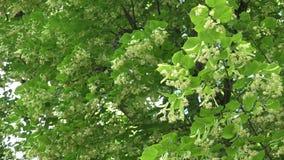 Les branches d'arbre de tilleul complètement des fleurs de fleurs se déplacent en vent 4K banque de vidéos
