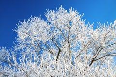Les branches d'arbre ont couvert de neige sur le fond le ciel bleu Image libre de droits