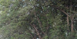 Les branches d'arbre se sont entrelacées, formant un fond végétatif continu image libre de droits