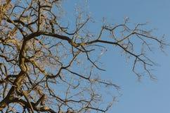Les branches d'un arbre contre le ciel bleu Images libres de droits