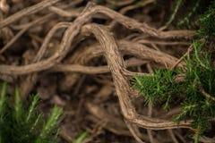 Les branches d'un buisson à feuilles persistantes de conifère Photo stock