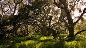 Les branches de chêne embrouillées s'entrelacent Images stock