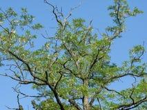 Les branches de l'acacia avec des fleurs contre un ciel bleu sans nuages de ressort images stock