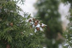 Les branches de l'arborvitae en hiver Photo libre de droits