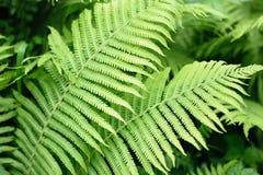 Les branches de la fougère verte dans la forêt d'été Photos libres de droits