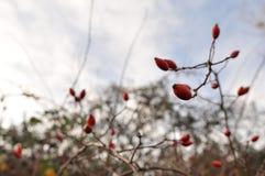 Les branches de sauvage ont monté photographie stock libre de droits