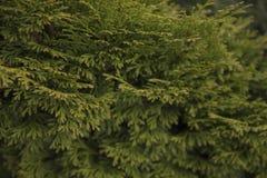 Les branches de Tui vert sont illuminées par lumière du soleil photographie stock libre de droits