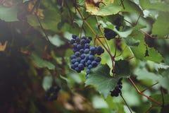 Les branches des raisins se développent dans les domaines Plan rapproché des raisins frais de vin rouge en Italie Vignoble avec d Images stock
