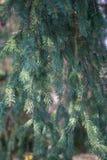 Les branches du bore/du pin naturels photos libres de droits