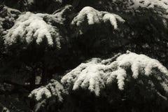 Les branches du pin aiment les doigts étrangers Photo libre de droits